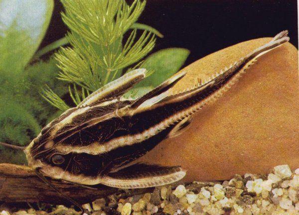 Platydoras Transport Gratis 5117178229 Oficjalne Archiwum Allegro Aquarium Fish Cool Fish Freshwater Aquarium Fish