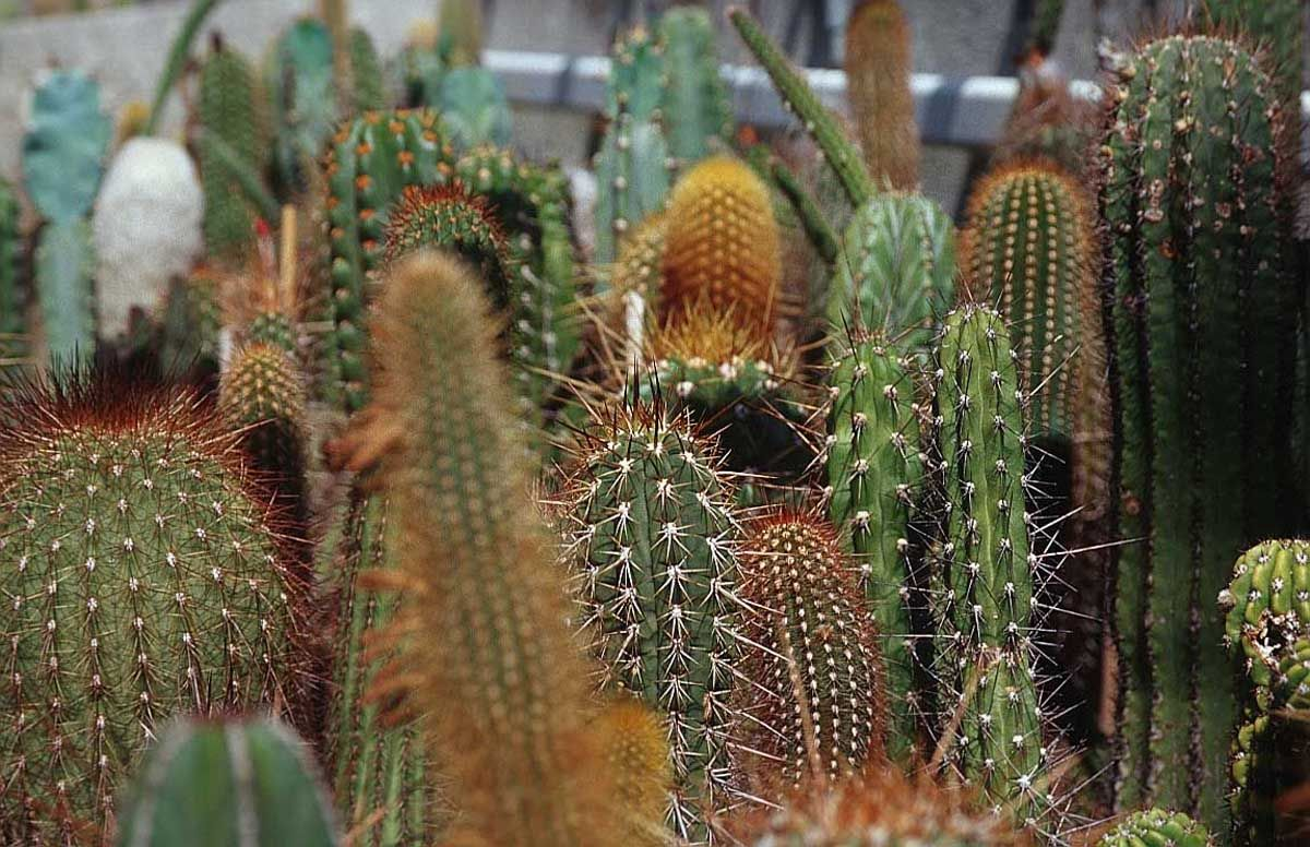 Interesting fact: at the time of writing, the tallest recorded free-standing cactus is a Pachycereus pringlei, measured at 19. Description from picture-newsletter.com. I searched for this on bing.com/images