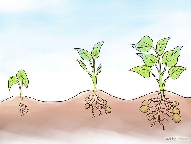 Faire pousser des patates douces - Comment planter des patates ...