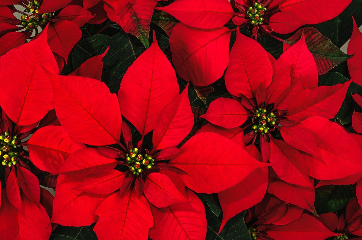 The 3 Holiday Plants That Clean The Air Christmas Plants Poinsettia Plant Month Flowers