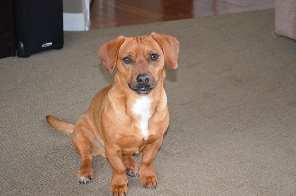 Dachshund beagle pug mix dog breed information