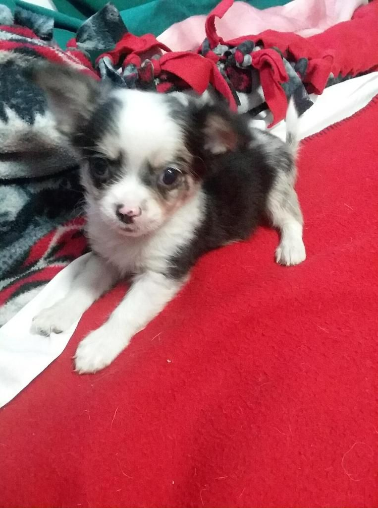 Rudy Male Chihuahua 1000 Chihuahua Puppies Chihuahua Puppies