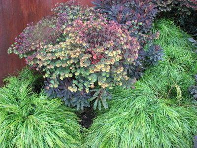 Euphorbia Tui And Acacia Limelight Euphorbia Plants Plant Combinations