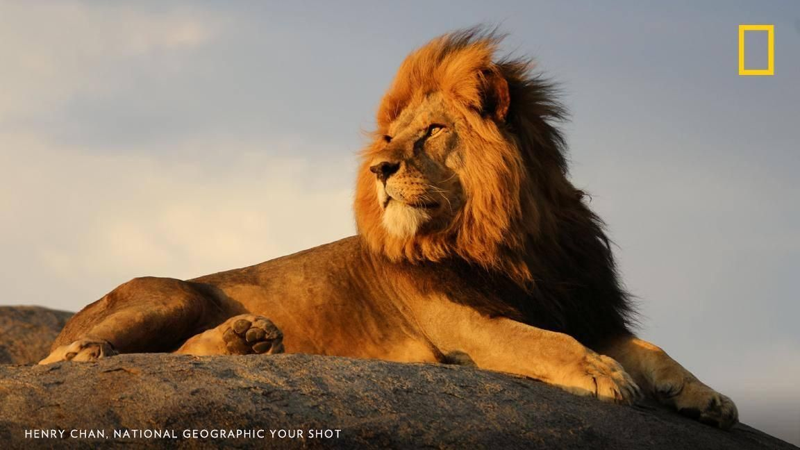 National Geographic On Twitter In 2020 Wildlife Photography National Geographic Lion Photography National Geographic Animals