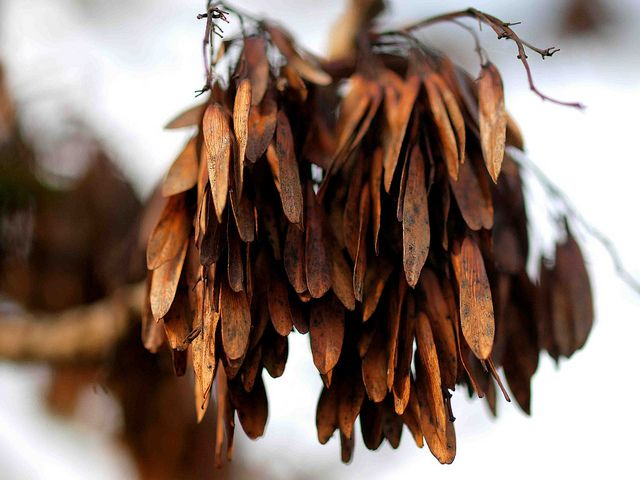 Ash Tree Seed Pods