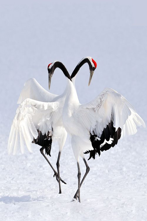 very elegant Japanese cranes - dances gracefully in the ... - photo#24