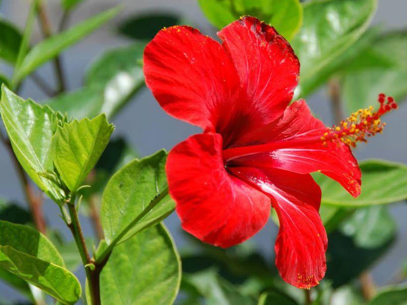 Hibiscus Rosa Sinensis Chinese Hibiscus World Of Flowering Plants Hibiscus Rosa Sinensis Hibiscus Hibiscus Leaves