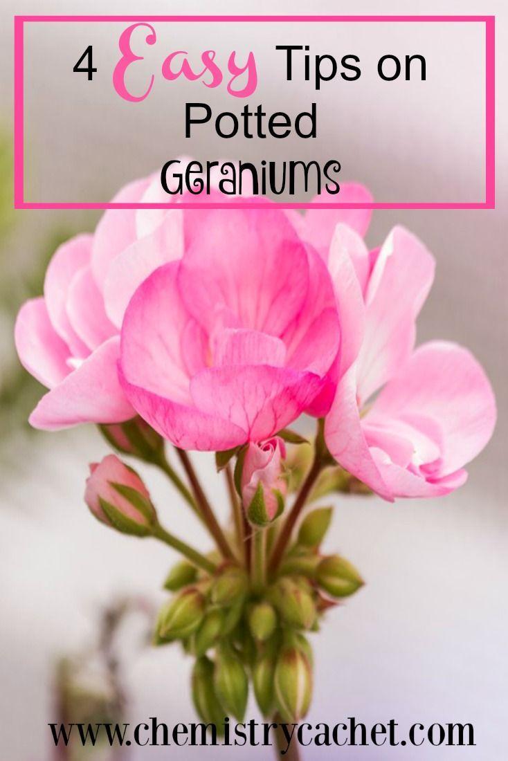 garden care tips If you want beautiful potted geraniums this spring or summer on your porch and patio check out these easy care tips for all your geranium planters Gerani...