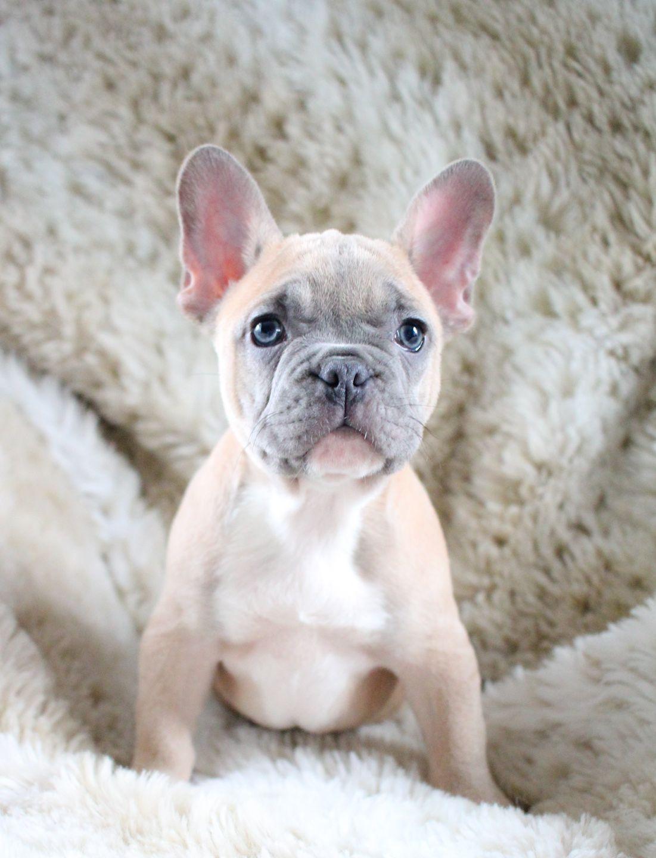 Pin By Jen On Dogs French Bulldog Puppies French Bulldog