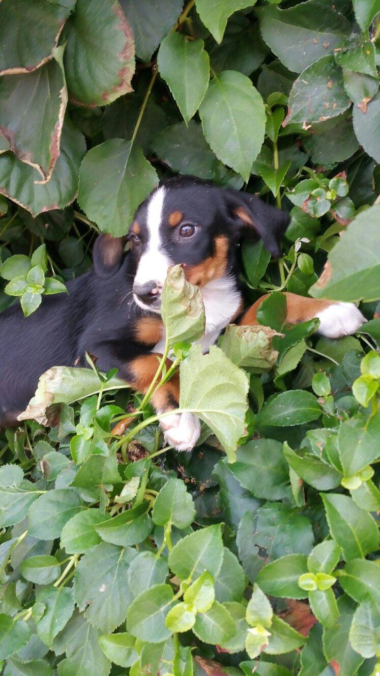 Pin Von Appenzellerwelpen De Auf Appenzeller Sennenhunde Hunde
