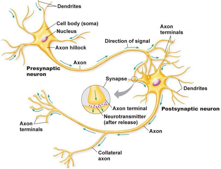 Printable Diagram Cell Diagram Nerve Cell Neurons