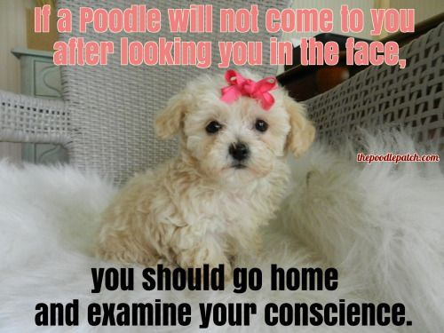 IF A POODLE WILL NOT COME TO YOU AFTER LOOKING YOU IN THE FACE
