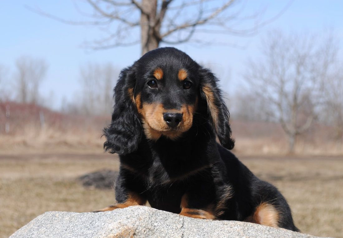 Miniature Dachshund Pups Available For Sale Mare Bella Dachshunds In 2020 Miniature Dachshund Dachshund Dachshund Puppy Miniature