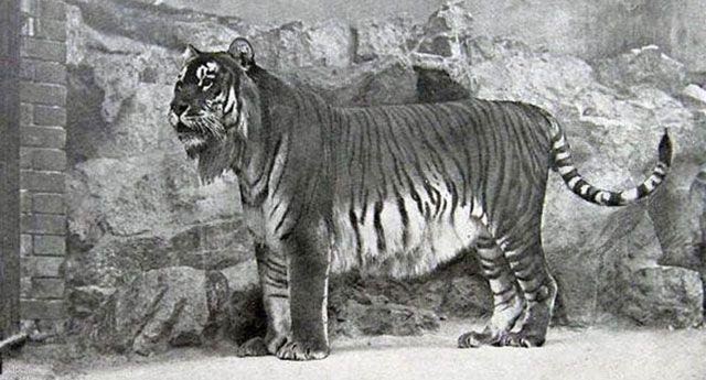 extinçao-tigre-caspio-foto-1895