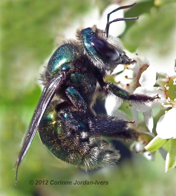 Green Carpenter Bee Corinne Jordan Iver S Fabulous Photographs