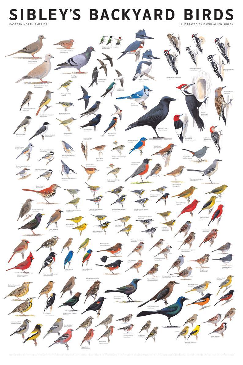Sibley's Backyard Birds of Eastern North America P
