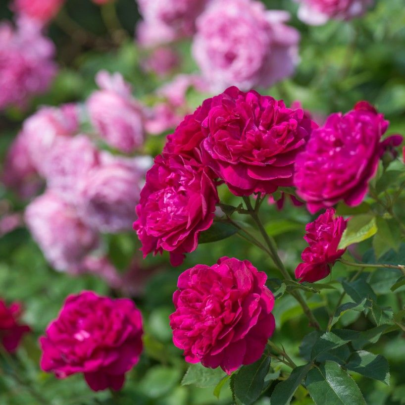 Darcey Bussell - English Roses - Type