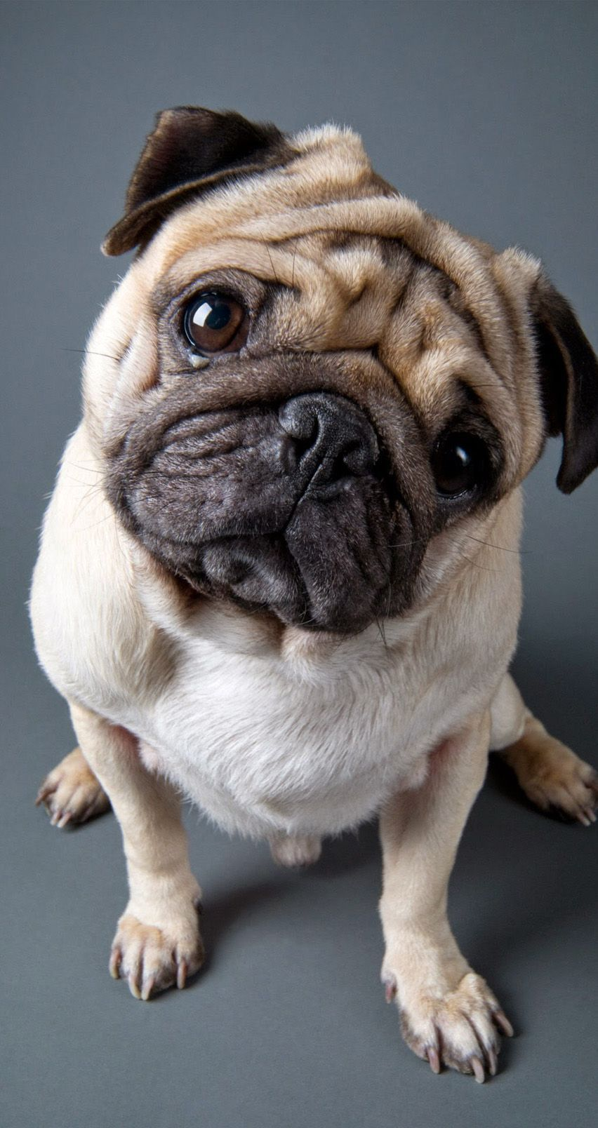 Cute Pug 852 X 1608 Wallpapers Available For Free Download
