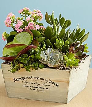 Kalanchoe and Succulent Garden and other flowers & plants at ProPlants.com