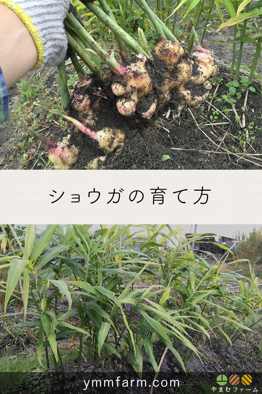 ショウガ 生姜 の栽培方法 育て方のコツ 2020 栽培 野菜作り