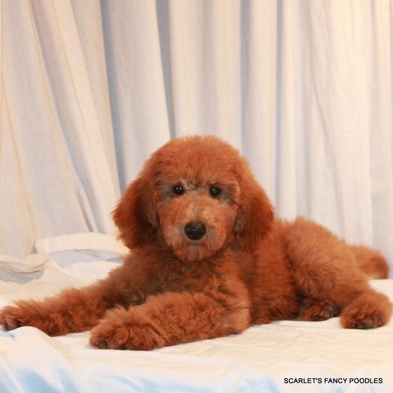 Red standard poodle puppies california
