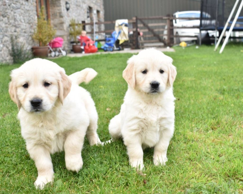 Golden Retriever Annunci Animali Labrador Retriever Dogs Animals