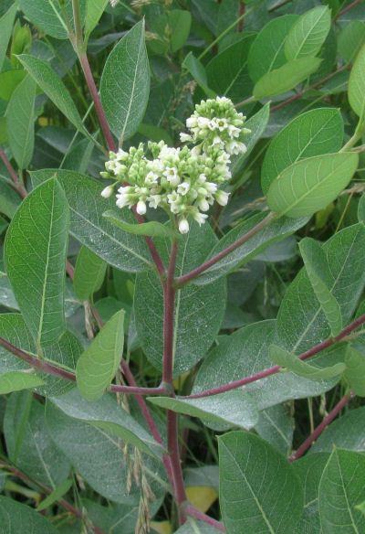 Prairie Dogbane Apocynum Cannabinum Trees To Plant Rhizome