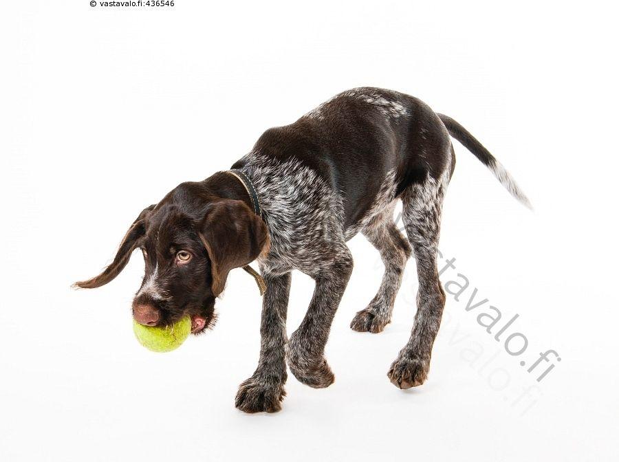 Palloa Noutava Pentu Ahkera Aktiivinen Aktiivisuus Karkeakarvainen Saksanseisoja Kasvava Kasvuiassa Kkss Kkssn Koira Koiranlelu Pentu Koiranpentu Koiranlelut