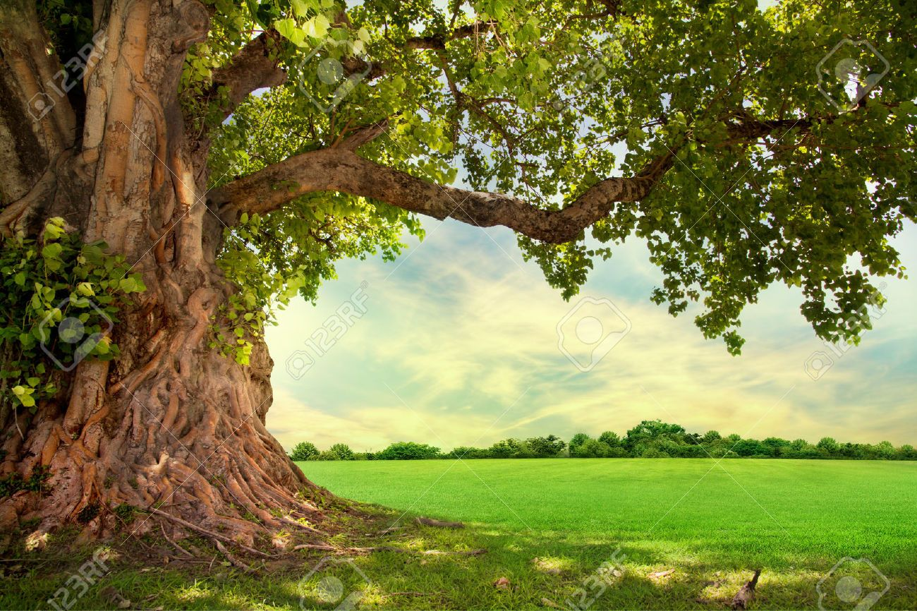 Oak Tree Images, Stock Pictures, Royalty Free Oak Tree