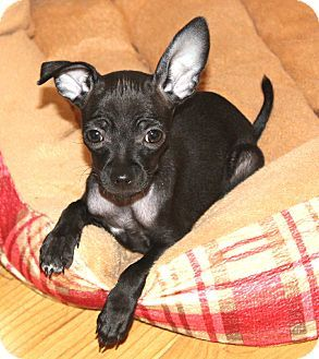 Italian Greyhuahua Italian Greyhound Chihuahua Mix Info Puppies