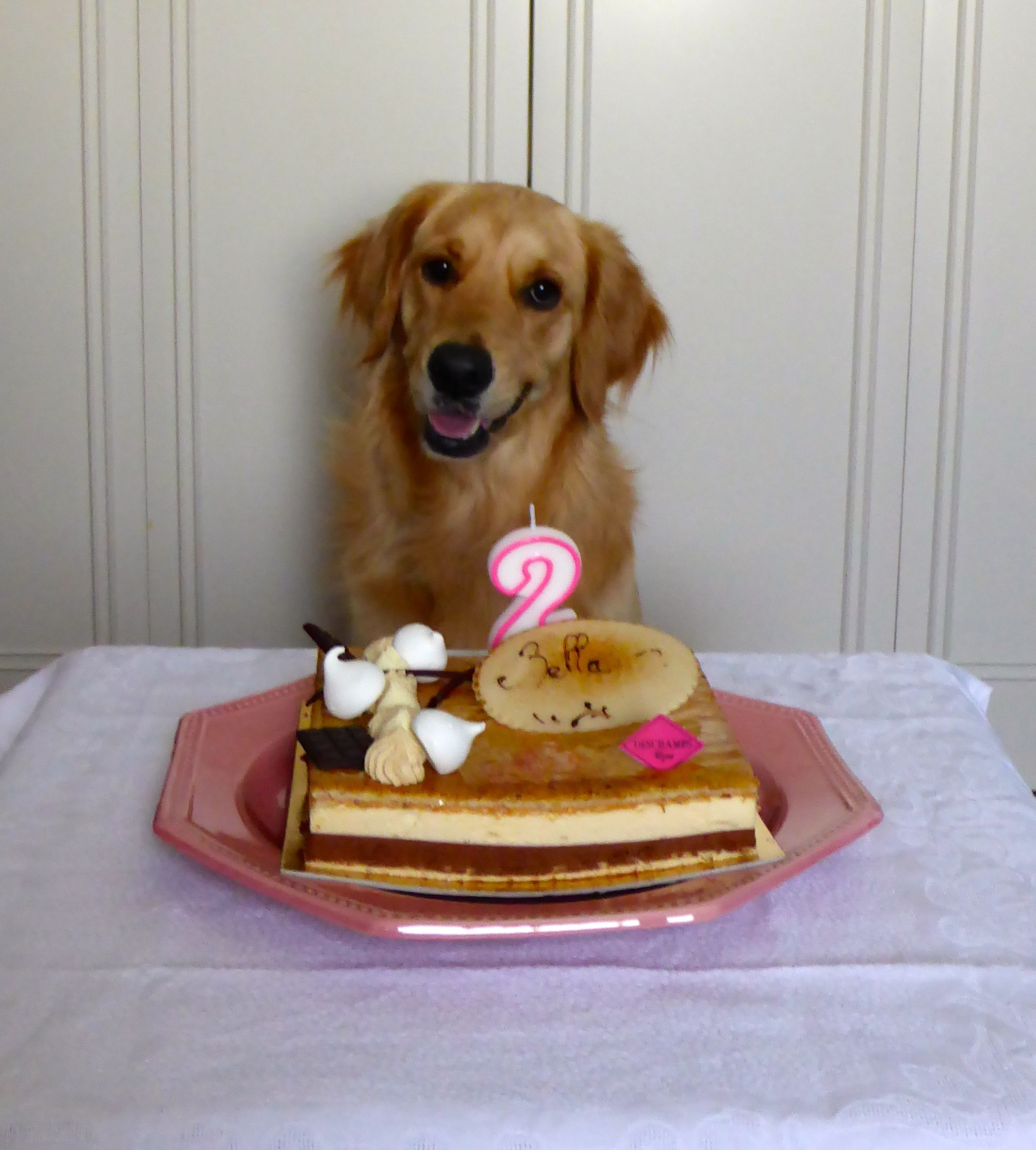 Chien Dog DogMom Photography Photographie Animaux Animals GoldenRetriever