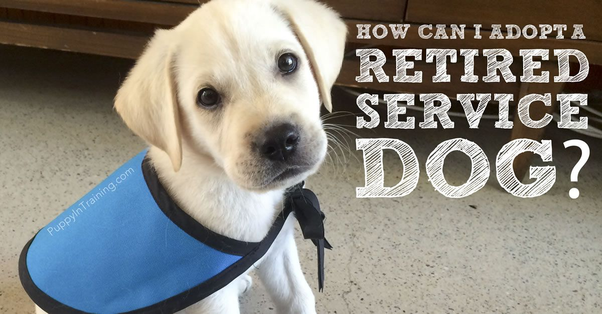 How Can I Adopt A Retired Service Dog Or Failed Guide Dog With