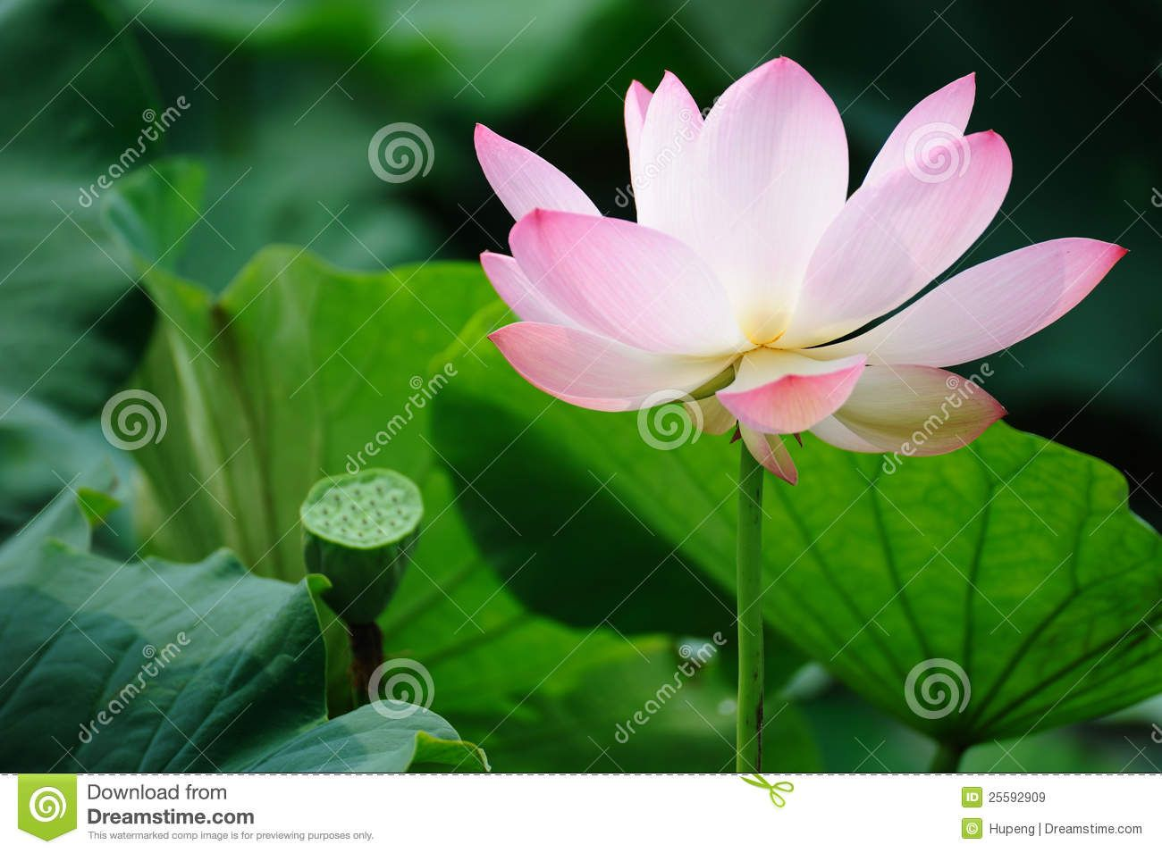 Pink Lotus Flower With Seed Pod Stock Image Image Of Buddha Bloom