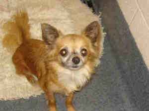 Adopt Mason On Dogs Chihuahua Dogs Beautiful Dogs