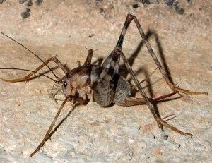 b0ef18921e059bdc706aaca9481fbb1f - How To Get Rid Of Crickets In The House Nz