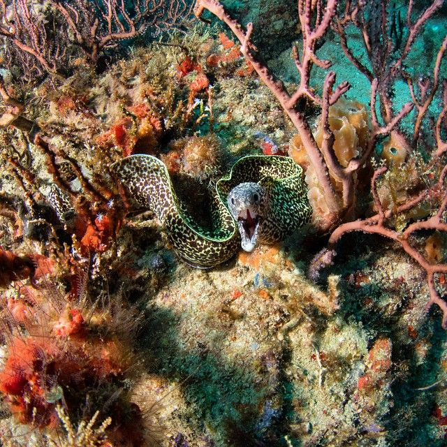 Spotted moray eel in Florida. Happy world oceans day. #morayeel ...