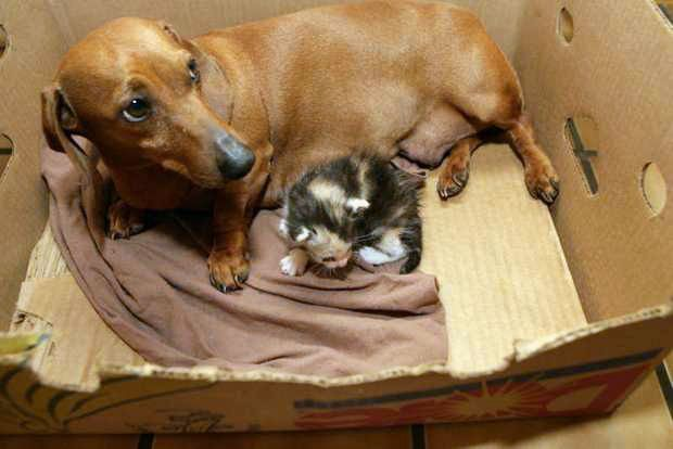 Caring Dachshund Adopts Orphaned Kittens Animals Friendship Dachshund Love Cute Animals