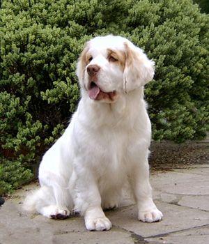 Clumber Spaniel Price Temperament Life Span Clumber Spaniel Spaniel Breeds Dog Breeds