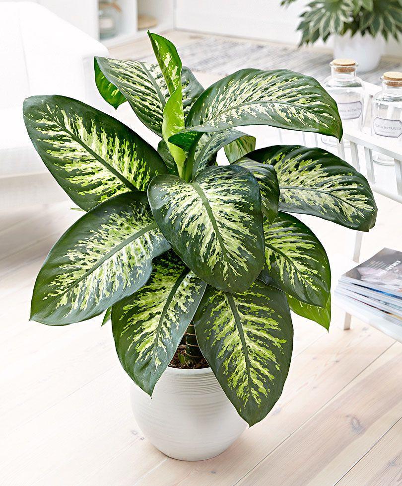 Dieffenbachia est un genre de plantes de la famille des araceae ce