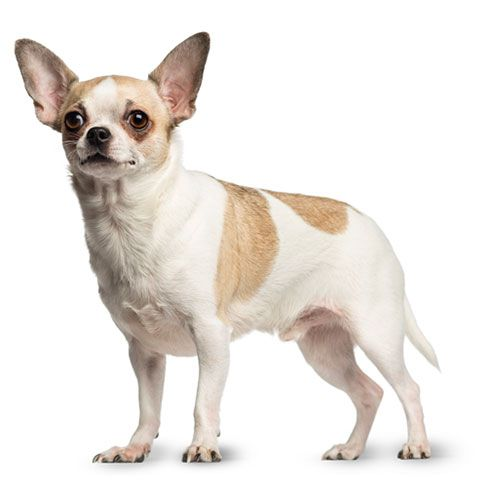The World S Smallest Dogs Chihuahuas Make Good Companions