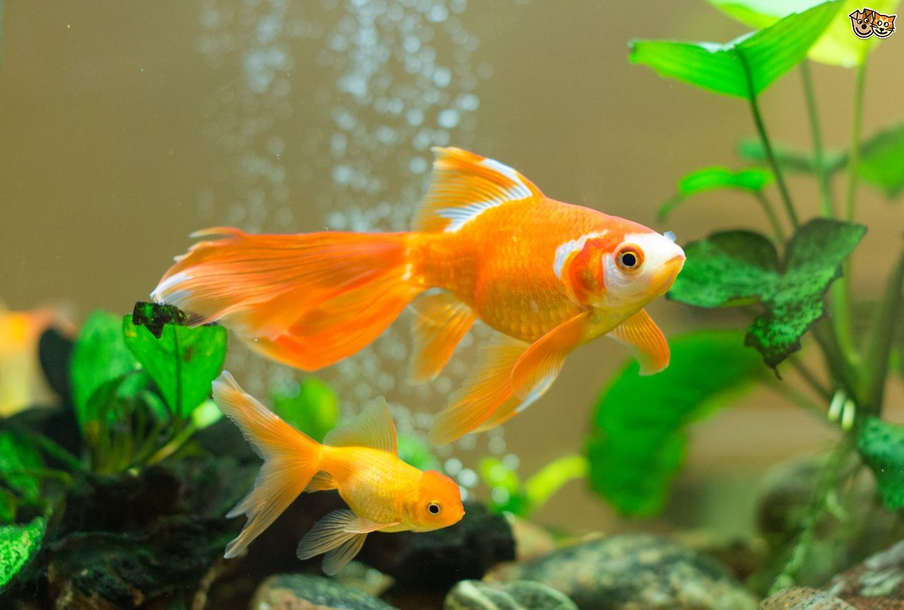 Image result for fish in a tank | fish | Pinterest | Goldfish ...