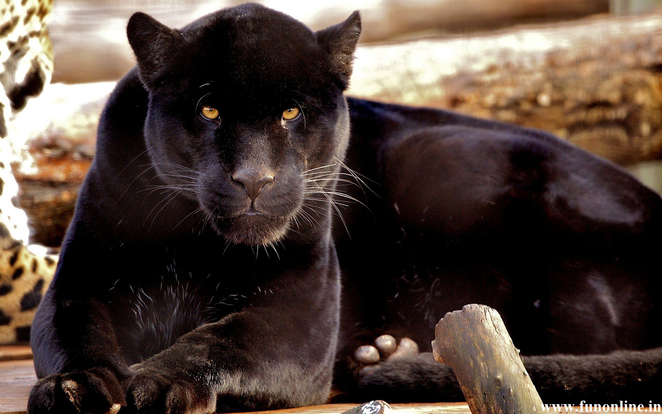 Panther Wallpapers Download Free Black Panthers Hd Wallpaper Animals Panther Jaguar Leopard