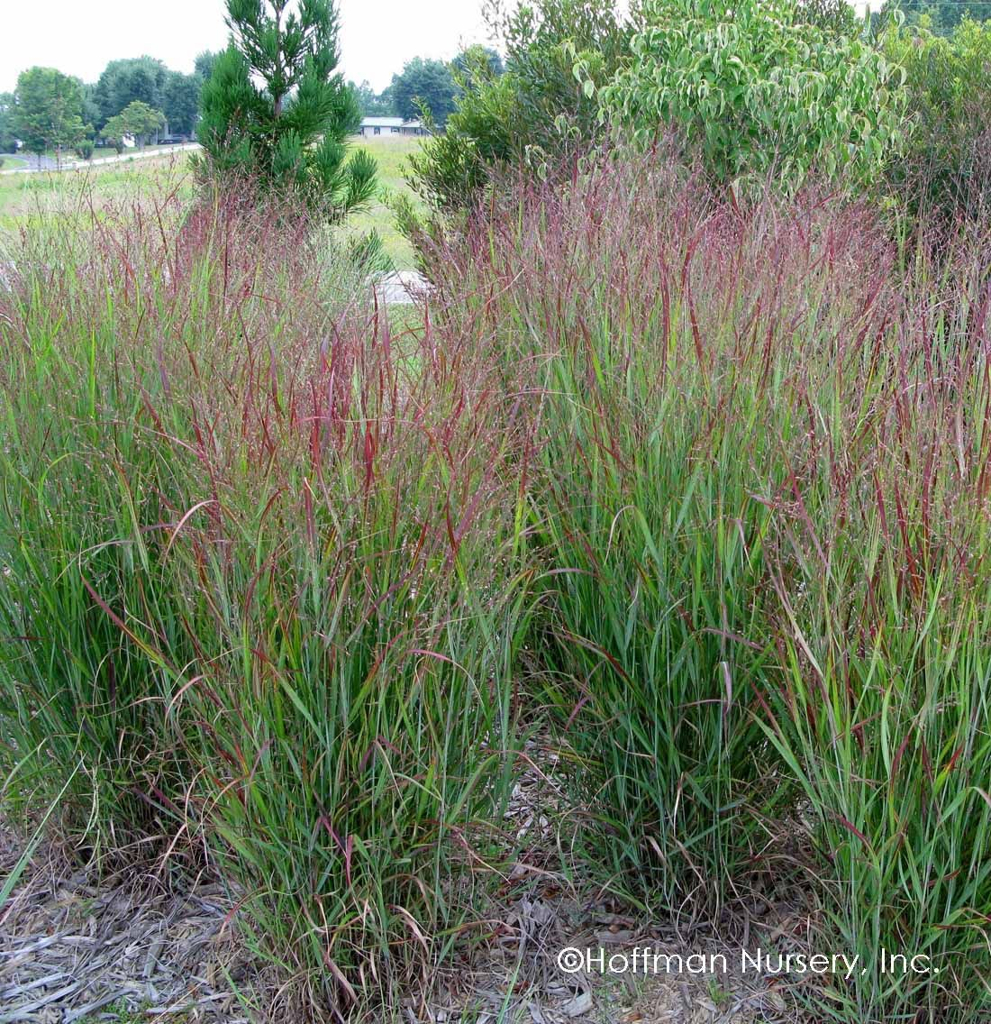 Panicum Virgatum Shenandoah Is A Spectacular Red Switchgrass Its Upright Foliage Becomes Re Colorado Landscaping Grasses Landscaping Landscaping Around Pool
