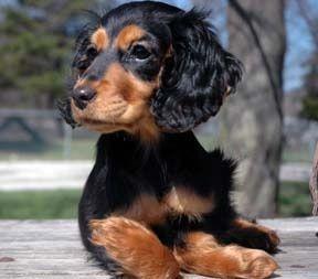 Cocker Spaniel X Daschund Dachshund Dachshund Mix Mixed Breed Dogs