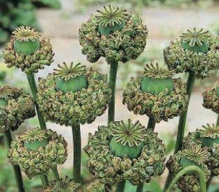 Bulk Seeds - Annuals (Bulk) - Poppy 'Hens & Chicks' (5,000+ Seeds)