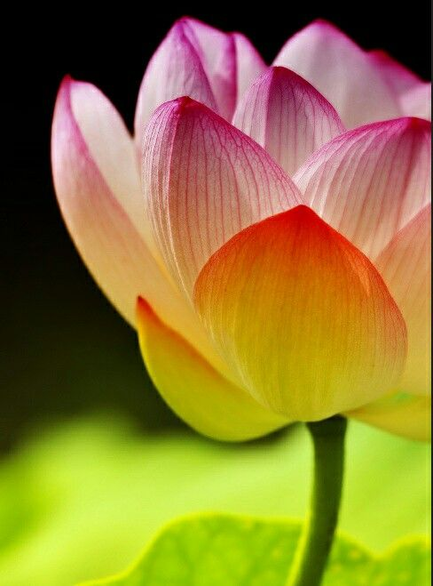 Pin by Mona Moni on Lotus (With images)   Summer flowers garden. Beautiful flowers. Amazing flowers