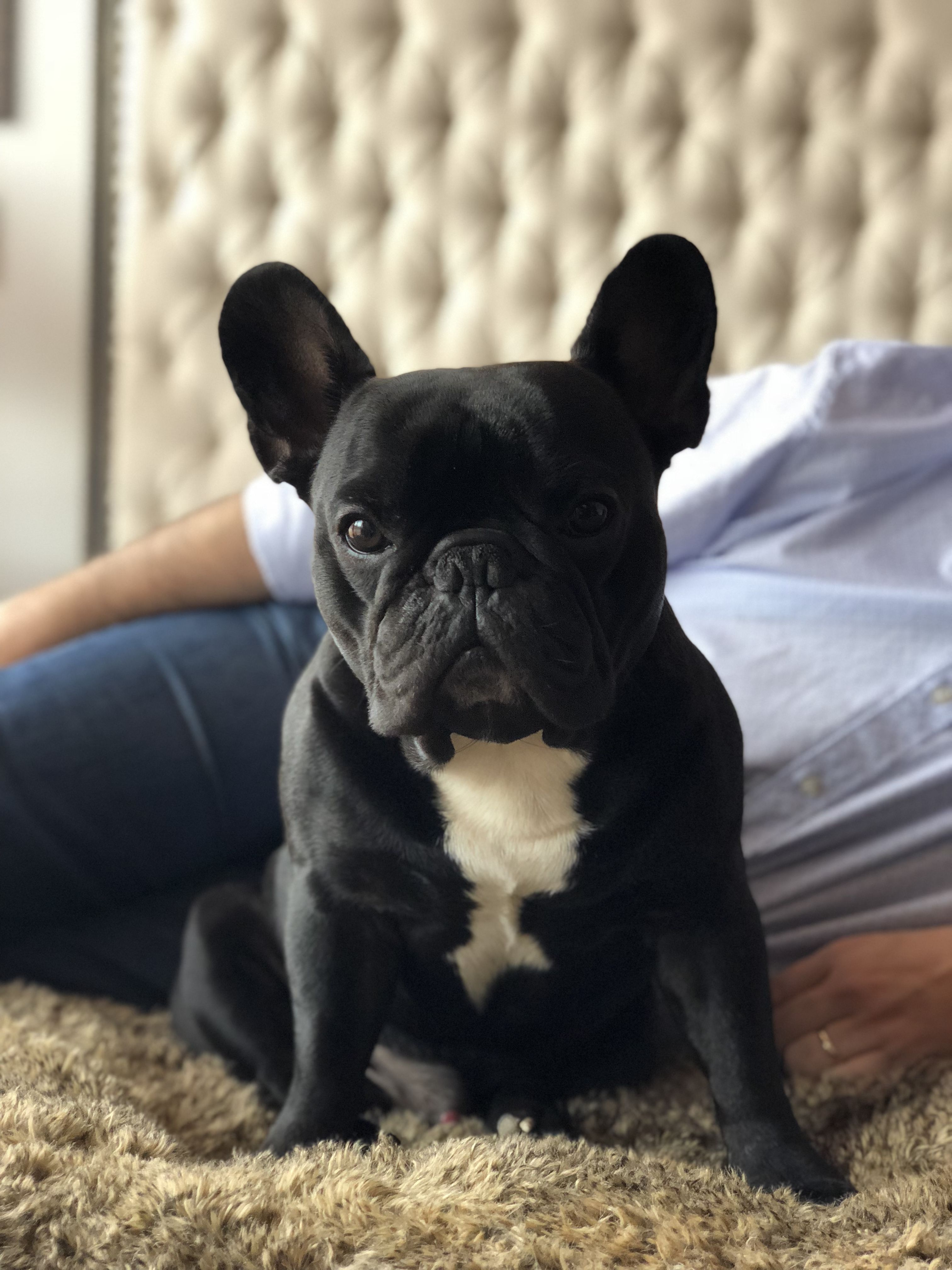 French Bulldog Puppies Super Adorable 999 00 San Diego