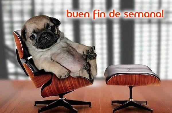 Buen Fin De Semana Imagenes De Animales Graciosas Perros Pug Pug