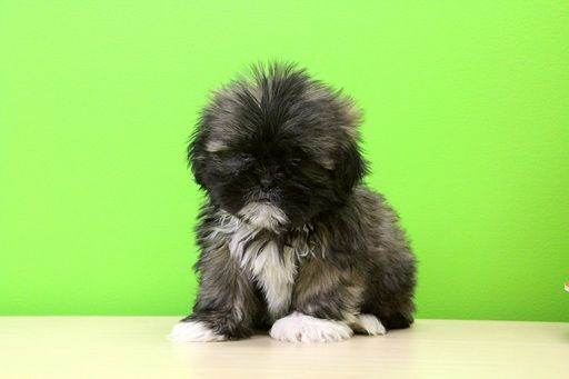 Shih Tzu Puppy For Sale In Portsmouth Oh Adn 27099 On