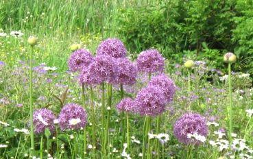 Hortulus-Uphoff - Allium Globemaster
